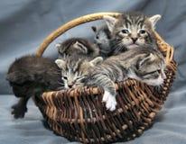 Gatinhos em uma cesta Imagens de Stock Royalty Free