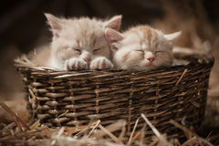 Gatinhos em uma cesta fotos de stock royalty free