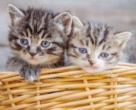 Gatinhos em uma cesta Fotografia de Stock Royalty Free