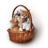 Gatinhos em uma cesta Foto de Stock