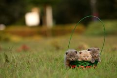 Gatinhos em uma cesta na grama, retrato de Ingleses Shorthair Imagem de Stock Royalty Free