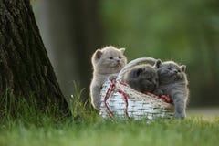 Gatinhos em uma cesta na grama, retrato de Ingleses Shorthair Fotos de Stock Royalty Free