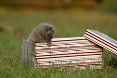 Gatinhos em uma cesta na grama, retrato de Ingleses Shorthair Fotografia de Stock