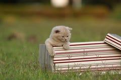 Gatinhos em uma cesta na grama, retrato de Ingleses Shorthair Fotos de Stock