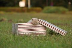 Gatinhos em uma cesta na grama, retrato de Ingleses Shorthair Fotografia de Stock Royalty Free