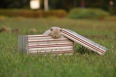 Gatinhos em uma cesta na grama, retrato de Ingleses Shorthair Imagens de Stock Royalty Free