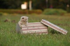 Gatinhos em uma cesta na grama, retrato de Ingleses Shorthair Imagem de Stock