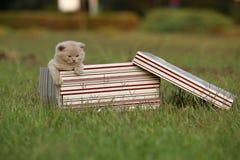 Gatinhos em uma cesta na grama, retrato de Ingleses Shorthair Foto de Stock Royalty Free