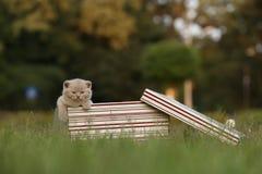 Gatinhos em uma cesta na grama, retrato de Ingleses Shorthair Imagens de Stock
