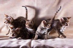 Gatinhos graciosos de bengal Fotografia de Stock