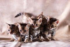 Gatinhos graciosos de bengal Fotografia de Stock Royalty Free