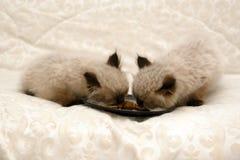 Gatinhos Himalayan que comem o alimento fotografia de stock