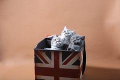 Gatinhos na caixa de Union Jack fotos de stock royalty free