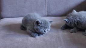Gatinhos no sofá video estoque