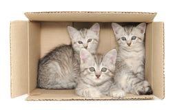 Gatinhos pequenos Foto de Stock Royalty Free