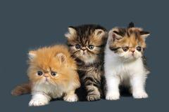 Gatinhos persas fotografia de stock