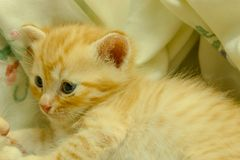 Gatinhos persas Brown Imagens de Stock Royalty Free