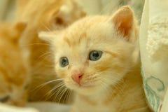 Gatinhos persas Brown Foto de Stock
