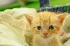 Gatinhos persas Brown Foto de Stock Royalty Free