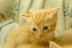 Gatinhos persas Brown Fotos de Stock Royalty Free