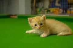 Gatinhos persas Brown Fotografia de Stock