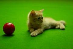 Gatinhos persas Brown que são bonitos Foto de Stock Royalty Free
