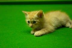 Gatinhos persas Brown que são bonitos Imagem de Stock Royalty Free