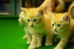 Gatinhos persas Brown que são bonitos Fotografia de Stock Royalty Free