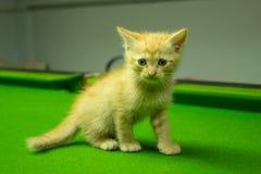 Gatinhos persas Brown que são bonitos Fotos de Stock Royalty Free