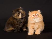 Gatinhos persas consideravelmente bonitos no fundo preto Imagens de Stock Royalty Free