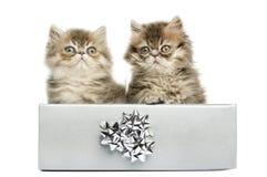 Gatinhos persas que sentam-se em uma caixa atual de prata, Fotos de Stock Royalty Free
