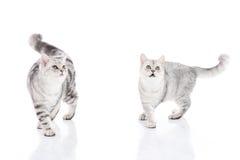 Gatinhos que andam e que olham acima no fundo branco Fotografia de Stock Royalty Free