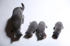 Gatinhos que comem alimentos para animais de estimação do assoalho Imagem de Stock