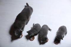 Gatinhos que comem alimentos para animais de estimação do assoalho Fotografia de Stock