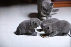 Gatinhos que comem alimentos para animais de estimação do assoalho Imagens de Stock