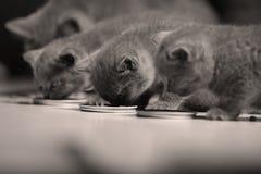 Gatinhos que comem alimentos para animais de estimação do assoalho Fotografia de Stock Royalty Free