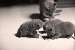 Gatinhos que comem alimentos para animais de estimação do assoalho Fotos de Stock Royalty Free