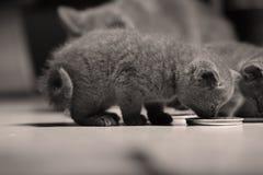Gatinhos que comem alimentos para animais de estimação do assoalho Imagens de Stock Royalty Free