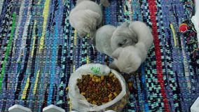 Gatinhos que comem alimentos para animais de estimação do assoalho vídeos de arquivo