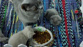 Gatinhos que comem alimentos para animais de estimação do assoalho video estoque