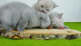 Gatinhos que comem a carne crua vídeos de arquivo