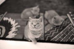 Gatinhos que encontram-se no tapete e que olham acima Fotografia de Stock Royalty Free