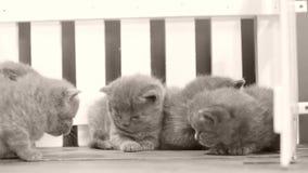 Gatinhos que lutam no fundo de madeira, cerca branca filme