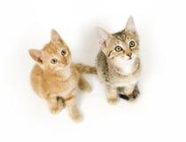 Gatinhos que olham acima Fotografia de Stock Royalty Free