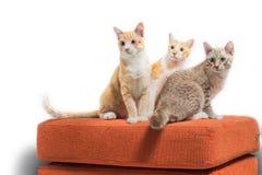 Gatinhos que sentam-se e que olham no sofá alaranjado da tela Imagem de Stock Royalty Free