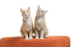 Gatinhos que sentam-se e que olham no sofá alaranjado da tela Imagem de Stock