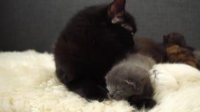 Gatinhos recém-nascidos bonitos pequenos com a mamã que coloca na pele dos carneiros Fim acima 4K filme