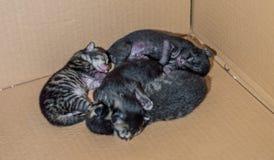 Gatinhos recém-nascidos cegos pequenos que dormem em uma caixa de cartão Fotografia de Stock Royalty Free