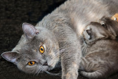 Gatinhos recém-nascidos da alimentação do gato da mãe Fotos de Stock