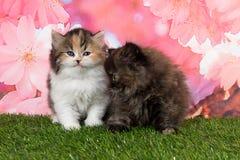 Gatinhos retos escoceses bonitos na grama Fotos de Stock